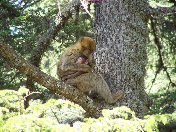 Barbary Macaques summer