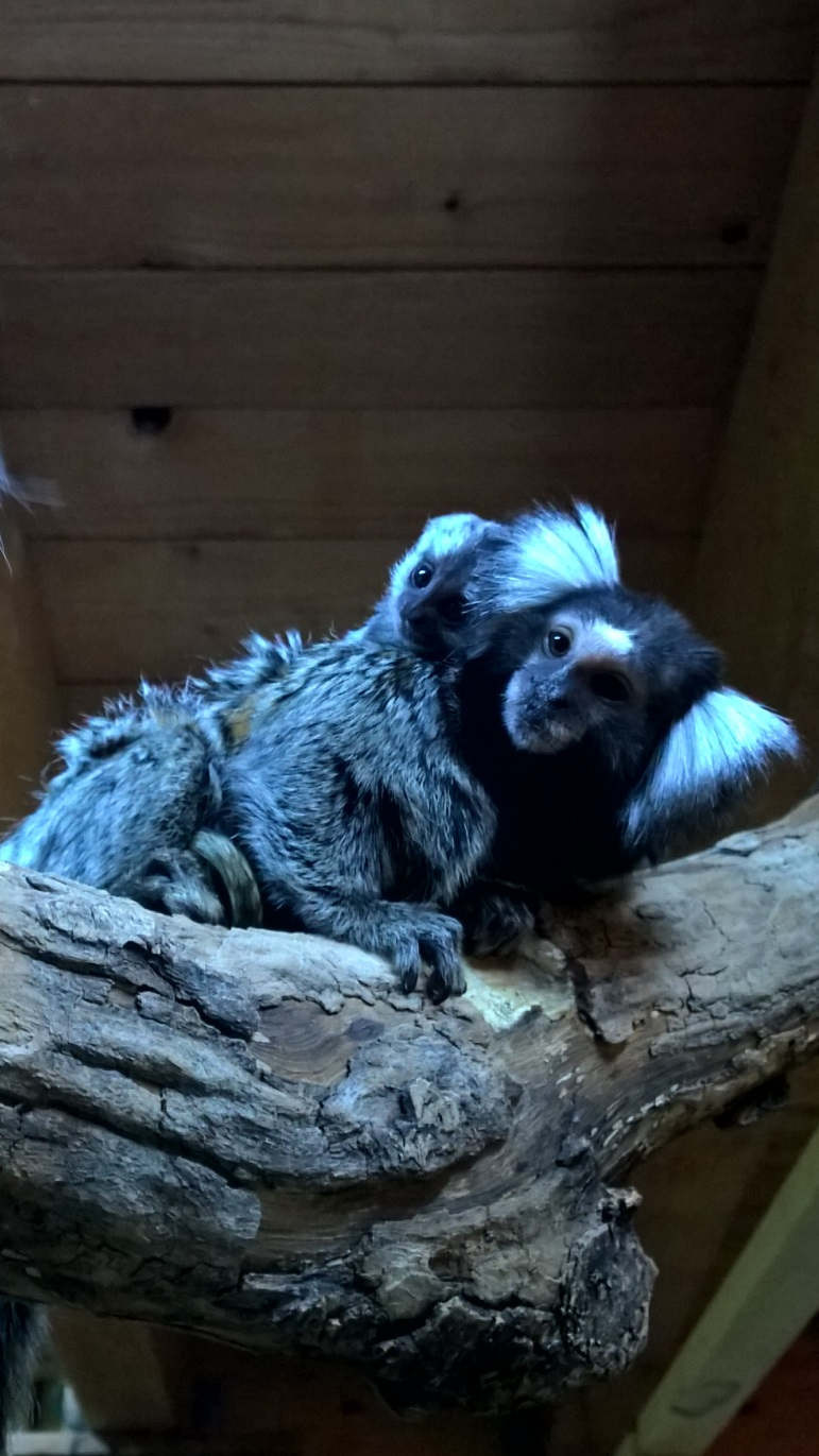 common marmoset mother and infant.jpg