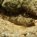 Cottus gobio_Aquarius_24.08.2016_2_web.jpg