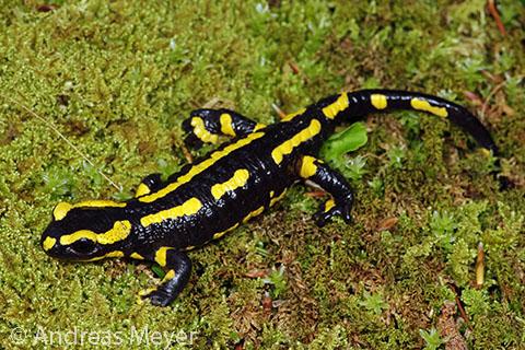 Salamandra%20salamandra_Andreas%20Meyer
