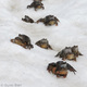 grasfrosch migration ©GB-crop450x450.jpg