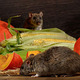 24mars2020_rats185.jpg (Close-up rat  (Rattus norvegicus) before orange pumpkin and corn. Second rat peep out from behind the corn. Inside  of  pantry.Small DoF focus only to one rat on foreground.)