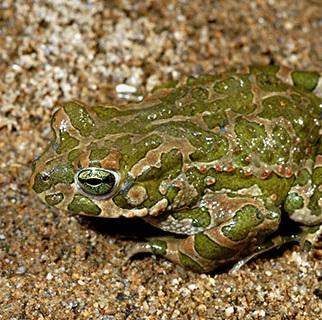 Bufo viridis