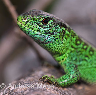 laag portrait © AM-crop.JPG (Lacerta agilis)